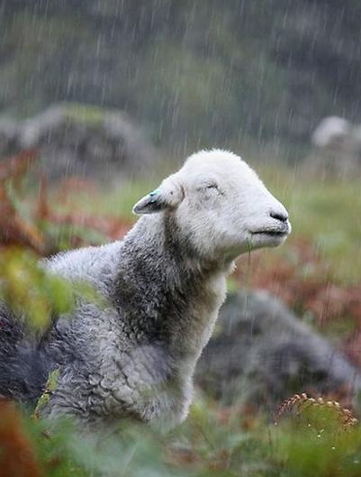Het onzin topic - Pagina 5 Sheep-in-the-rain